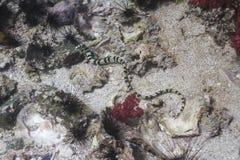 Serpiente de mar blanco y negro en la isla de Lipe Imagenes de archivo