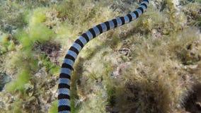 Serpiente de mar congregada en el mar almacen de metraje de vídeo