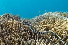 Serpiente de mar venenosa Foto de archivo libre de regalías
