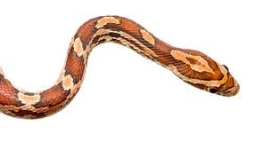Serpiente de maíz Fotografía de archivo libre de regalías
