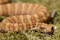 Serpiente de muerte que se sienta en hojas Imágenes de archivo libres de regalías