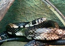 Serpiente de pollo Foto de archivo