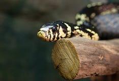 Serpiente de pollo Imagenes de archivo