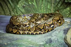 Serpiente de Python del gigante en la roca en el parque zoológico imagenes de archivo