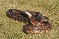Serpiente de rata Fotos de archivo