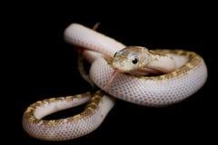 serpiente de rata Blanco-echada a un lado de Tejas Fotos de archivo