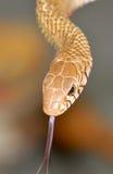 Serpiente de rata común