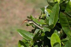 Serpiente de rata de Copperhead fuera del arbusto Fotos de archivo libres de regalías