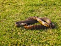 Serpiente de rata india, mucosa del Ptyas Santuario de fauna de Bhimashankar, maharashtra, la India fotos de archivo libres de regalías