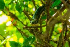 Serpiente de rata negra en el vagabundeo en un Rosebush fotos de archivo
