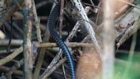 Serpiente de rata oriental almacen de video
