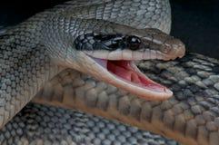 Serpiente de rata que ataca Fotografía de archivo libre de regalías
