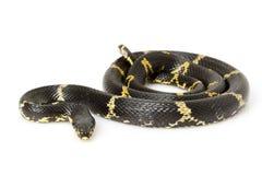 Serpiente de rata rusa imagen de archivo libre de regalías