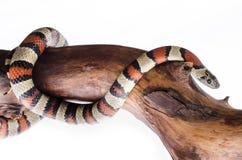 Serpiente de rey de Perfeck Fotos de archivo libres de regalías