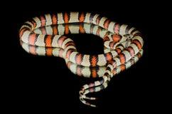 Serpiente de rey de Perfeck en el espejo Fotos de archivo