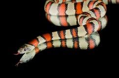 Serpiente de rey de Perfeck en el espejo Fotografía de archivo libre de regalías