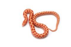 Serpiente de rey en el fondo blanco Fotografía de archivo
