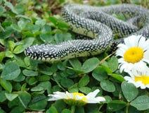 Serpiente de rey manchada Fotos de archivo libres de regalías