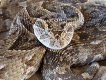 Serpiente de soplo Fotografía de archivo