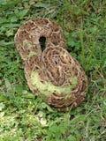 Serpiente de soplo Fotos de archivo libres de regalías