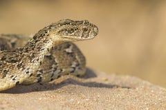 Serpiente de soplo, (arietans del Bitis) Suráfrica Imagen de archivo libre de regalías