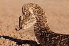 Serpiente de soplo defensiva fotografía de archivo