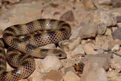 Serpiente de tierra occidental Fotografía de archivo libre de regalías