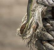 Serpiente del árbol de paraíso, serpiente en una cuerda, Koh Adang Park, Tailandia del vuelo del paraíso Imágenes de archivo libres de regalías