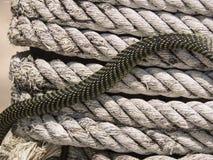 Serpiente del árbol de paraíso, serpiente en una cuerda, Koh Adang Park, Tailandia del vuelo del paraíso Fotos de archivo libres de regalías