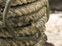 Serpiente del árbol de paraíso, serpiente en una cuerda, Koh Adang Park, Tailandia del vuelo del paraíso Imagen de archivo