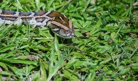 Serpiente del constrictor de boa Imagen de archivo libre de regalías