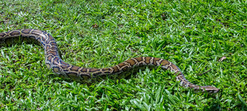 Serpiente del constrictor de boa Foto de archivo