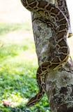 Serpiente del constrictor de boa Foto de archivo libre de regalías