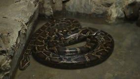 Serpiente del constrictor de boa almacen de video