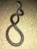 Serpiente del corredor negro fotografía de archivo libre de regalías