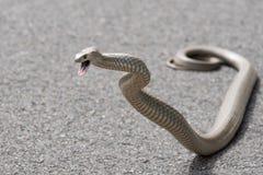 Serpiente del este de Brown, Sydney, Australia Foto de archivo libre de regalías