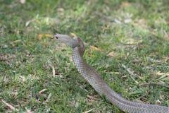 Serpiente del este de Brown, Sydney, Australia imagen de archivo