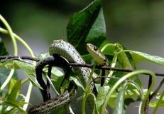 Serpiente del jardín fotografía de archivo libre de regalías