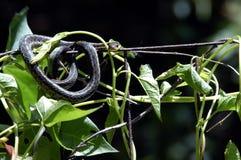 Serpiente del jardín Imagen de archivo libre de regalías