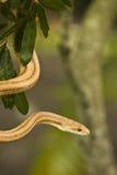 Serpiente del jardín Fotos de archivo