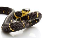 Serpiente del mangle Foto de archivo libre de regalías
