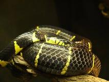 Serpiente del mangle Imagenes de archivo