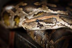 Serpiente del pitón Fotografía de archivo