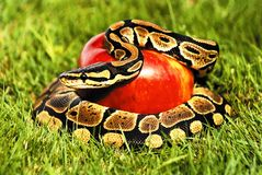 Serpiente del pitón de Apple Imagenes de archivo