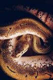 Serpiente del pitón de la bola Fotografía de archivo libre de regalías