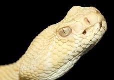 Serpiente del traqueteo de la parte posterior del diamante del albino Imagen de archivo libre de regalías