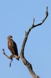 Serpiente Eagle de Brown Fotografía de archivo libre de regalías