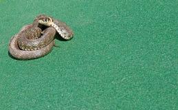 Serpiente en el campo Fotografía de archivo libre de regalías