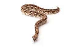 Serpiente en el fondo blanco Fotografía de archivo libre de regalías