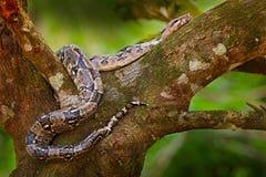 Serpiente en el tronco de árbol Serpiente en la naturaleza salvaje, Belice del constrictor de boa Escena de la fauna de America C imagen de archivo libre de regalías